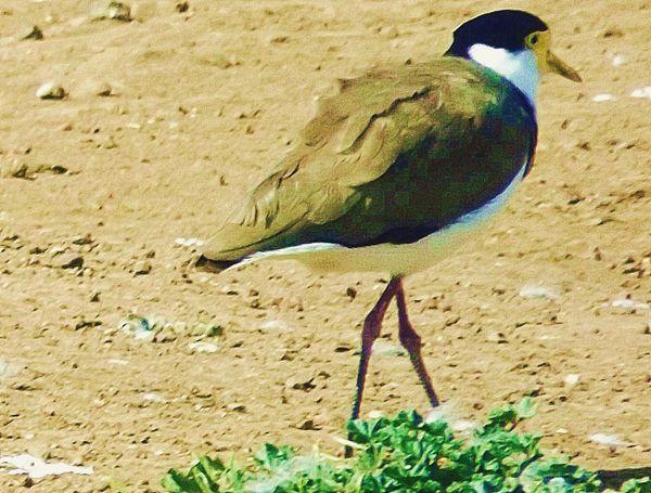 Australian Wildlife Birds