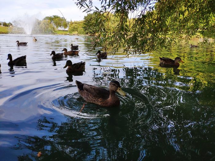 Ducks swimming in lake