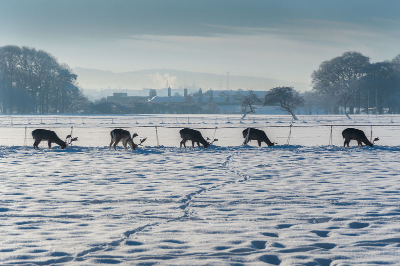 A group of five deer in search for food covered under snow. town in background.