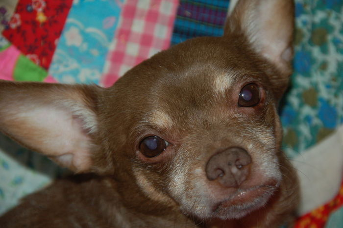 Animal Head  Animal Themes Bed Brown Chichuahua Close-up Cute Dog Domestic Animals Focus On Foreground Indoors  Looking At Camera Mammal No People One Animal Pets Portrait Relaxation