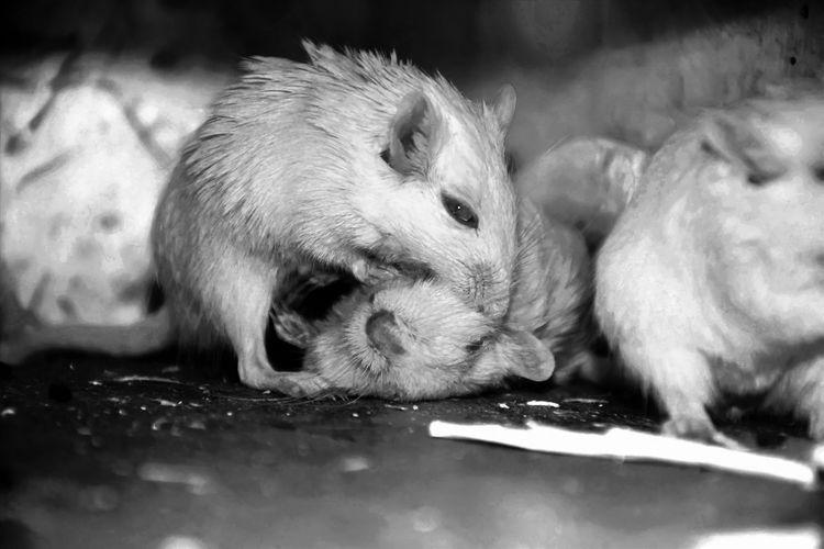 Close-Up Of Rats