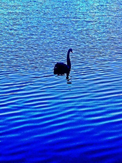 Motorolarazr Enjoying Life Check This Out Sunset Swan Lake Black Swan Swan Swansea Swan Park Beuty Of Nature