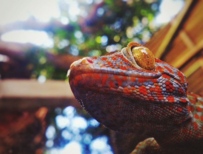 TUKO, Tokay Gecko Gecko Hello World Flowers, Nature And Beauty Eyeem Philippines IPhoneography EyeEm IPhoneography Taking Photos EyeemPhilippines Iphonephotography Iphone6s Morning Iphoneonly Hanging Out IPhone Hinigaran Negros Occidental Eyeem Negros Occidental 🇵🇭