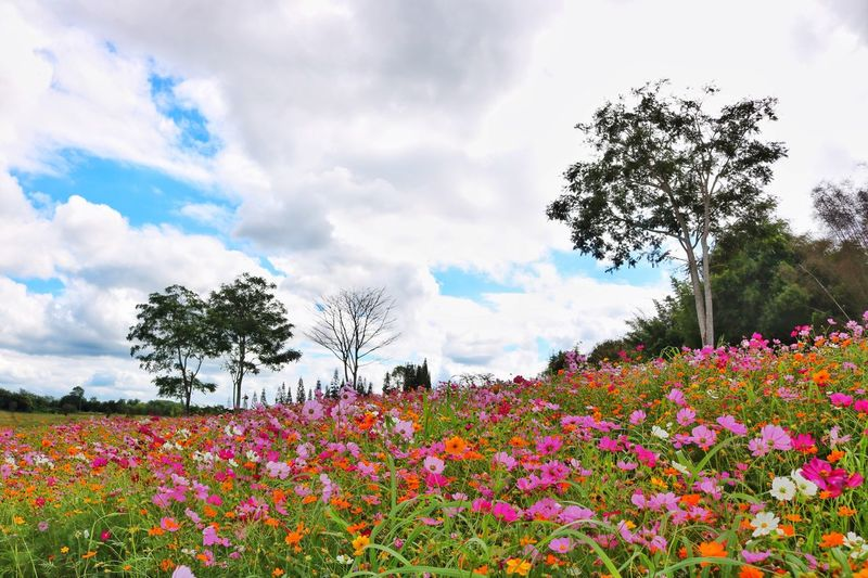 Cosmos flower Flower Sky Beauty In Nature Tree Plant Field Blooming Growth Nature Flower Head Thailand Khao Kho Bn Farm Cosmos Flower