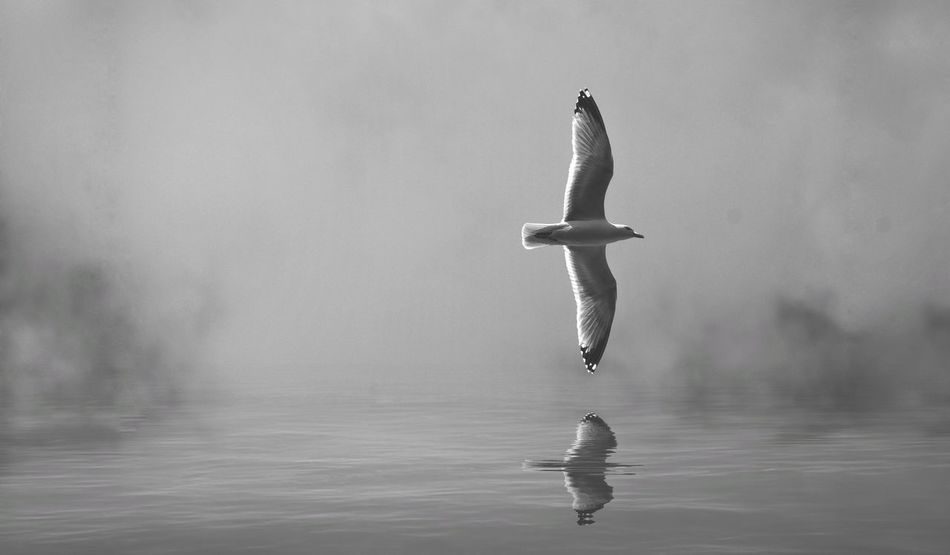 Gull Reflection Flying Bird Sky Bird Spread Wings Seagull Gulls Monochrome Black And White Water Motion Outdoors Day No People Flying Nature Ripples Full Length Animal Wildlife Gulls In Flight Sea Speed Swooping Flight