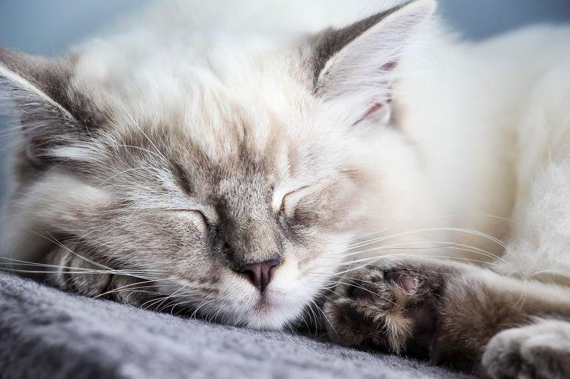 Close-up of ragdoll cat sleeping at home