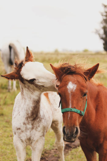 Horse in field. hoses kissing
