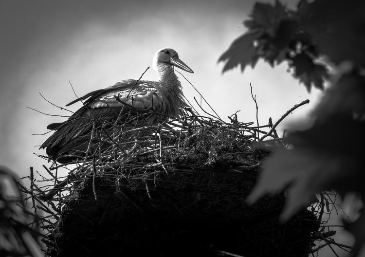 Low angle view of white stork on nest