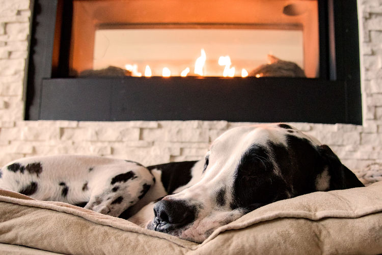 Low Angle View Of Dalmatian Dog Sleeping On Bed By Fireplace At Home