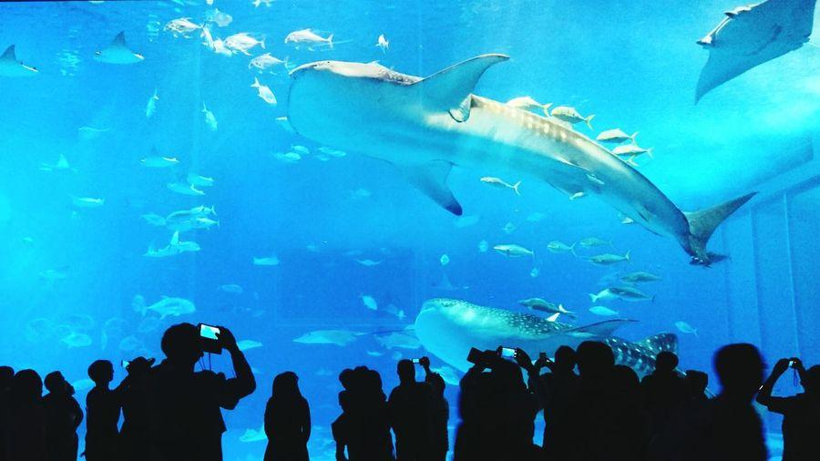 Aquarium Indoors  Whale Shark Nature Okinawa Churaumi Aquarium
