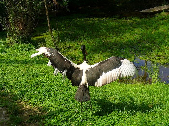 Animal Themes Animal Wildlife Bird Grass Green Color Nature No People Pelican Pelican Wings People Wings Spread Wingspan
