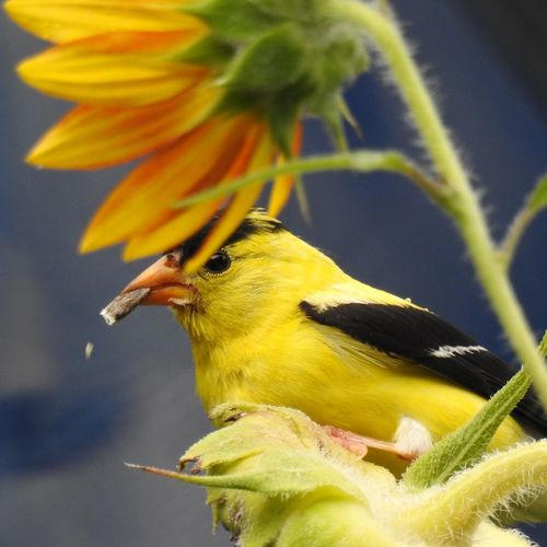 American Goldfinch eating sunflower seed. Wildlife Wildlife & Nature Wildlife Photography American Goldfinch Yellow Flower Yellow Bird Sunflower Sunflower Seed Goldfinch Bird Photography Bird Eating Bird Watching Birding Ornithology  Bird Close-up In Bloom Blossom Plant Life Blooming Perching Flower Head Beak Botany