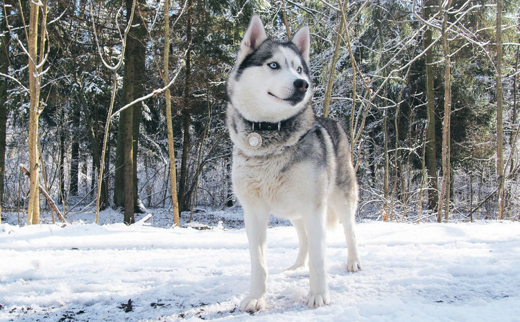 Animal Themes Cold Temperature Day Dog Domestic Animals Field Husky Mammal Nature No People One Animal Outdoors Pets Photography Siberian Husky Snow Standing Tree Weather White Color Winter Wolf