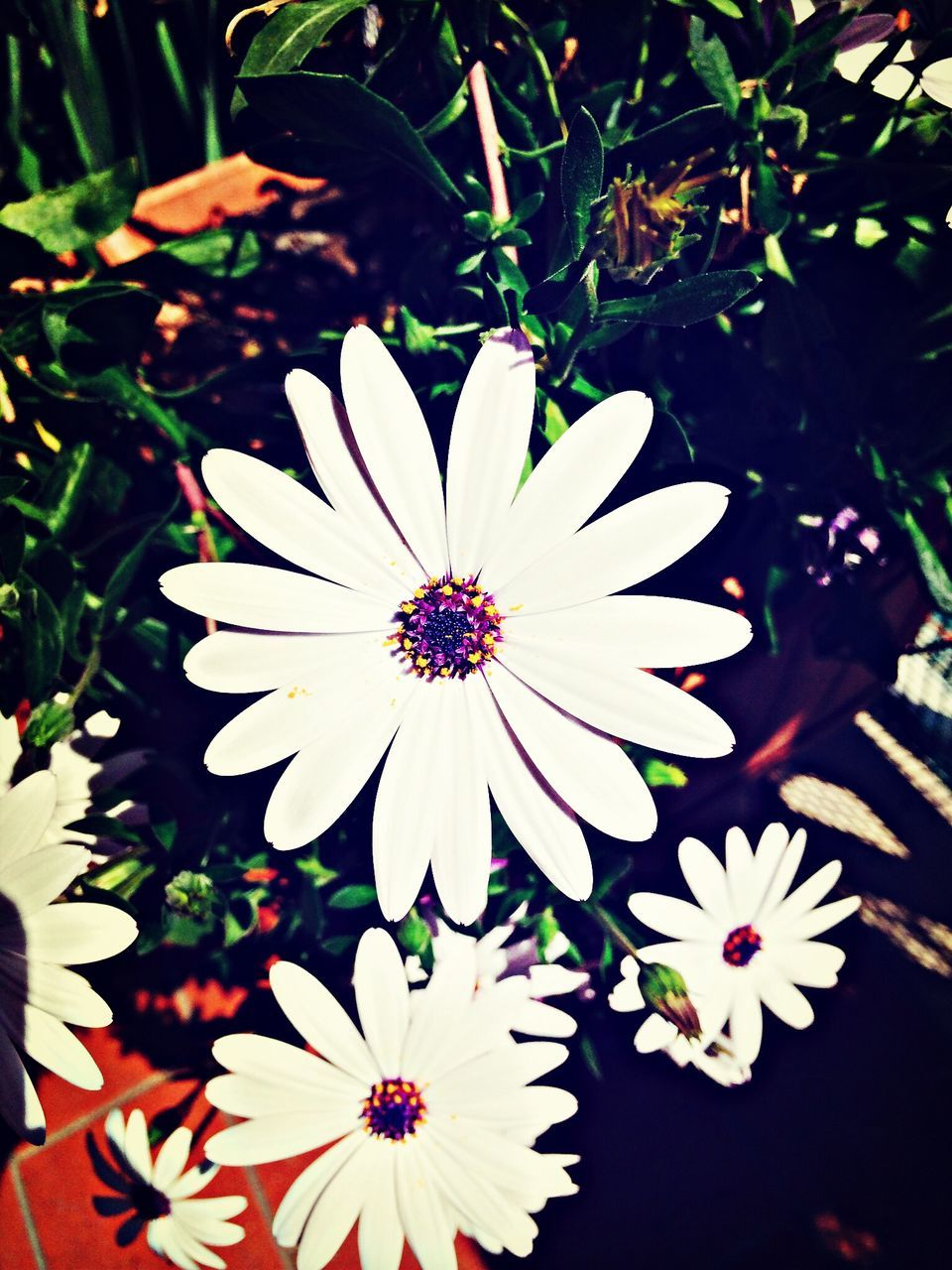 White Osteospermums Blooming In Park