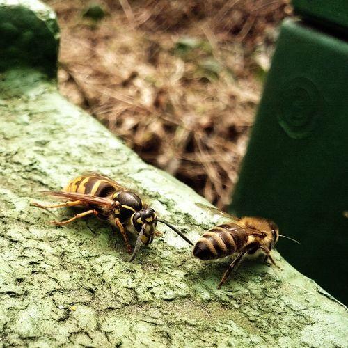 Bees Wasp