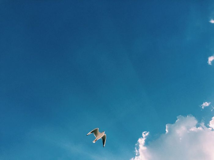 Animal Animal Themes Animal Wildlife Animals In The Wild Beauty In Nature Bird Blue Cloud - Sky Copy Space Day Flying Low Angle View Mid-air Nature No People One Animal Outdoors Seagull Sky Spread Wings Vertebrate