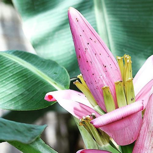 The bananas flowers. Flowersporn Floweroflife Garden_explorer Decorativeplants Ponyfony_flowers Cool Nice