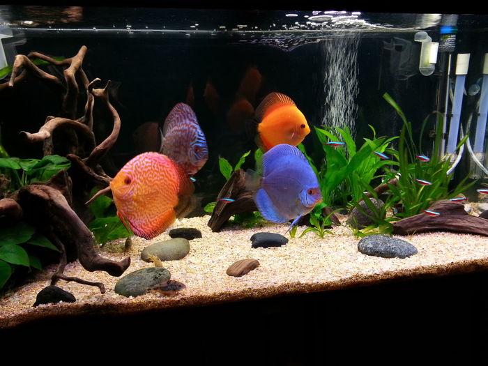 Aquarium Discusfish Discus