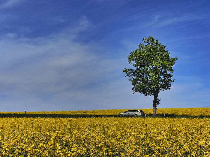 Barnim Rapsfeld Agriculture Beauty In Nature Crop  Day Environment Field Flower Flowering Plant Growth Land Landscape Nature No People Oilseed Rape Outdoors Plant Rural Scene Scenics - Nature Sky Tranquil Scene Tranquility Yellow