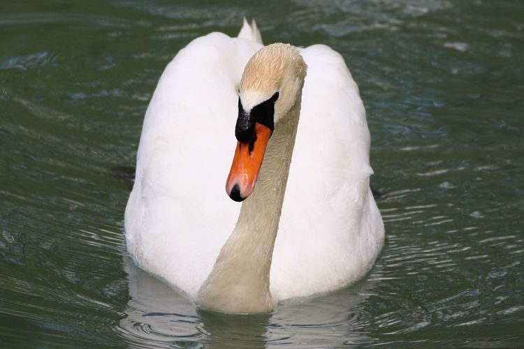 Animal Themes Beauty In Nature Bird Outdoors Swan Swimming Water Water Bird White Color White Swan
