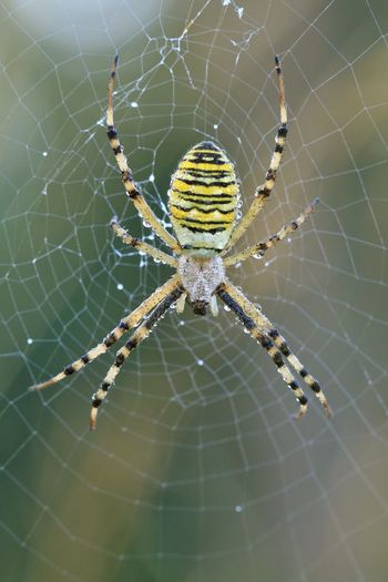 """""""Arachnophobia"""" Wespenspinne Spinne Spider Spider Web Spinning Close-up Animal Themes One Animal Natural Pattern Animals In The Wild Wildlife Web Survival Insect Michael Hruschka Phobia ANGST Tigerspider Fragility Nature Macro Makro Beauty In Nature Zoology Weaving"""