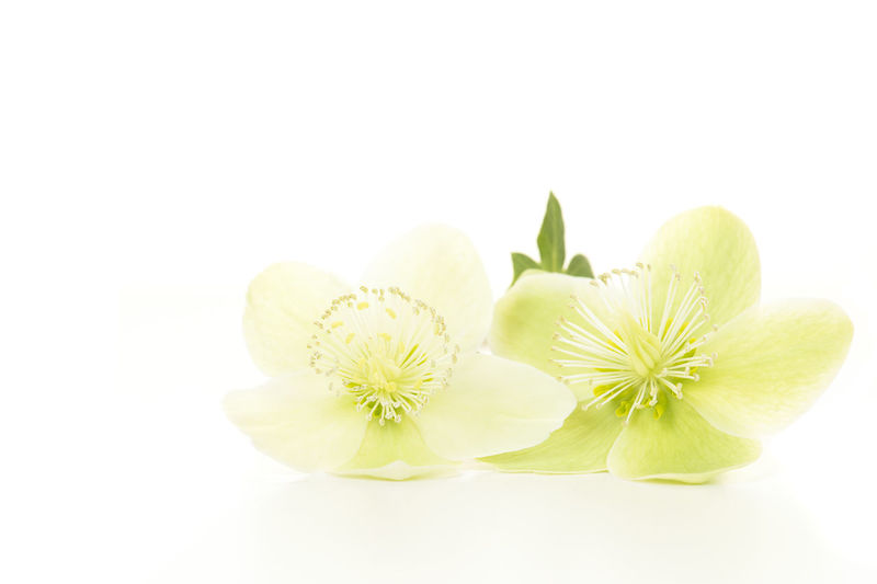 Two blooming christmas rose flowers lying isolated on a white background Helleborus Niger Christmas Rose Winter Rose Lenten Rose Hellebores Studio Shot White Background Freshness Flower Plant Indoors  Flowering Plant Copy Space Nature Flower Head Plant
