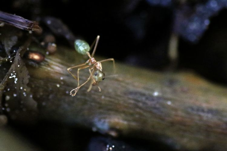 Animal Themes Animal Wildlife Animals In The Wild Ant Close-up Day Green Ant Insect Nature No People One Animal Outdoors