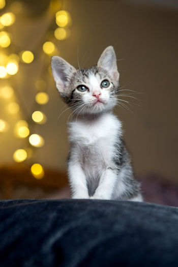 Portrait of kitten looking at camera
