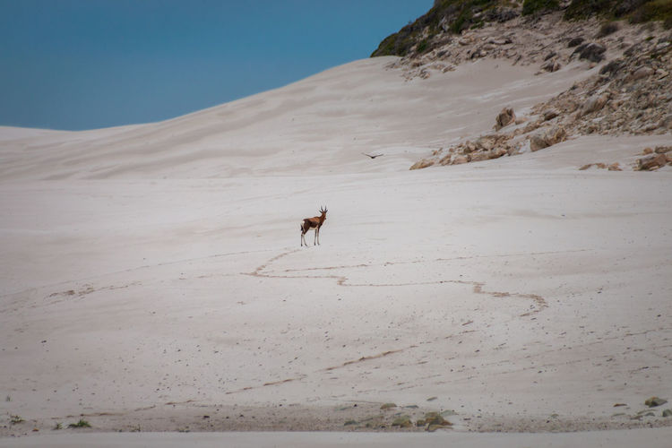 Blesbok or blesbuck antelope in sand dunes at cape of good hope nature reserve, south africa