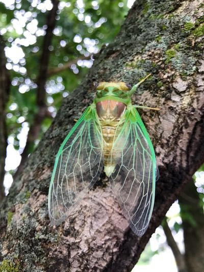 Locusts emerging Cicada Locust Tree Tree Trunk One Animal Animal Themes Day No People Nature Animal Wildlife Green Color Growth Beauty In Nature Outdoors