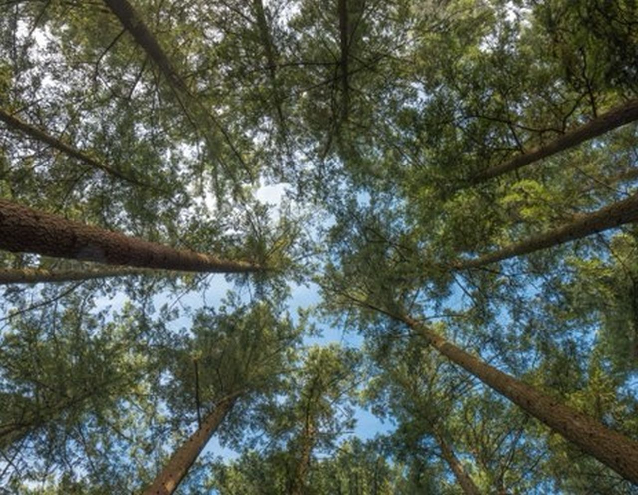 tree, low angle view, plant, forest, nature, day, beauty in nature, branch, tree canopy, sky, woodland, outdoors, land, no people, growth, directly below, tall - high, tranquility, plant part, full frame, bamboo - plant
