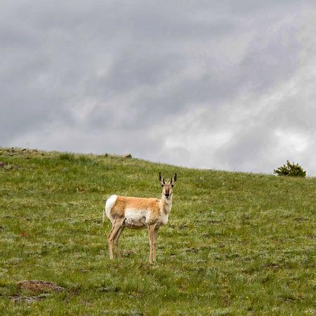 animal, antelope, deer, elk, grass, green, hoof, nature, scenery, scenic, wild, wildlife Deer Animal Themes Animals In The Wild Antelope Field Grass Hoofed Animal Hoofed Mammal Mammal Nature One Animal Outdoors