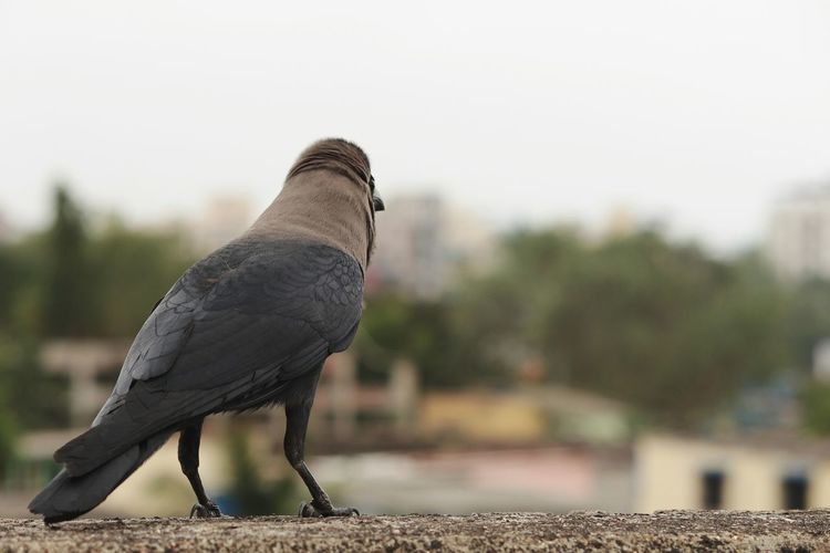 birds with man made objects EyeEm Selects Bird Bird Of Prey Perching Mourning Dove Close-up Sky Crow