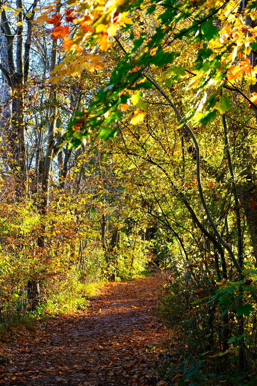autumn, tree, plant, change, leaf, plant part, footpath, beauty in nature, nature, growth, tranquility, forest, land, direction, the way forward, no people, day, tranquil scene, outdoors, branch, leaves, fall