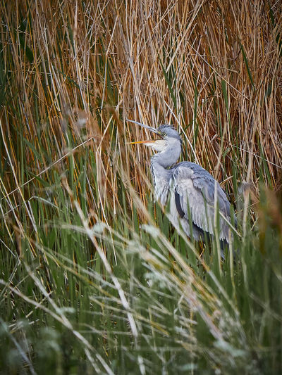 High angle view of gray heron perching on grass