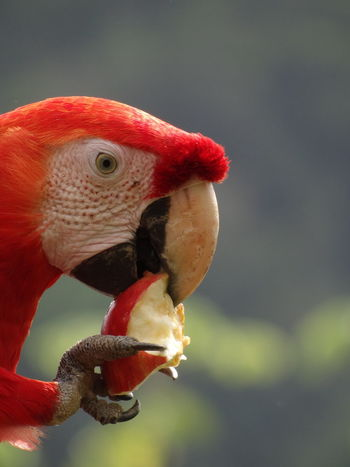 Amazonas Apple Colourful Eating Feeding  Manu National Park Peruvian Amazon Red Scarlet Amazon Animal Animal Body Part Animal Eye Animal Head  Animal Neck Animal Themes Animal Wildlife Animals In The Wild Apple Eating Ara Ara Macao Beak Beauty In Nature Bird Blue Close-up Day Focus On Foreground Hellroter Ara Macaw Macaws Nature No People One Animal Outdoors Papagei Parrot Peruvian Red Rot Scarlet Macaw Tame Vertebrate Wild Yellow