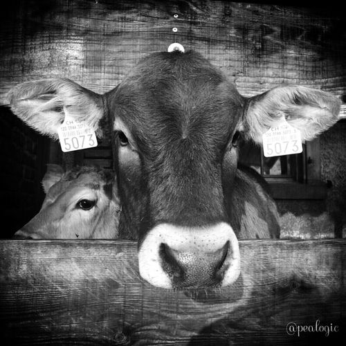 Hanging Out Nature Blackandwhite Animals Cows Noir Et Blanc Blancoynegro Bws_worldwide Ee_daily Bwstyles_gf EE_Daily: Black And White Moocowmonday