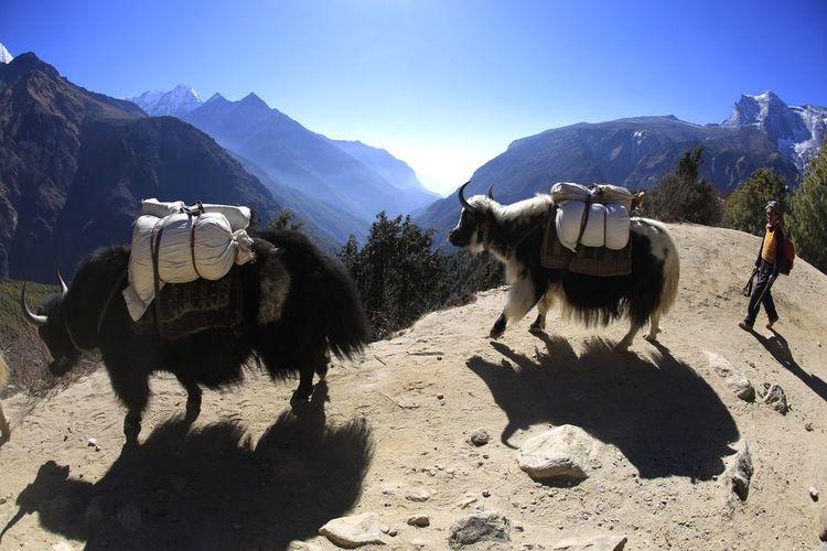 Mountain Outdoors 히말라야, One Person Working Animal 소. 야크, 블랙야크, 네팔, 사진가 이상신 ,