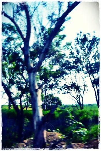Eucalipto en el camino Tree Branch Tree Trunk Sunlight Forest Sky