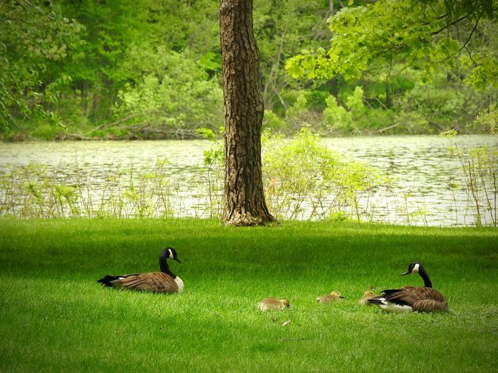 Goose Family Picnic Family Time Picnic Family Togetherness Canadian Geese Goose Family Canadian Geese Family Park Time By The Water Spring Day Springtime Gorgeous Day Daytime Fresh Air And Sunshine Green Spring Green Babies Bird Water Goose Lake Togetherness Gosling Young Bird Young Animal Geese Water Bird Canada Goose Chick Wildlife Lakeshore
