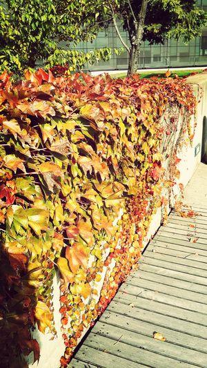 ...Yaprak döker bir yanımız, bir yanımız bahar bahçe.. (H.H.K.) Autumnleaves Nature_collection Ineedamiracle Lostsouls