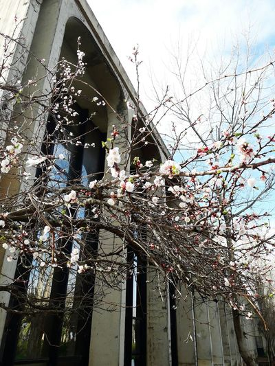 Usthb Cherry Blossoms Tree Hanging Sky Architecture Close-up Building Exterior Built Structure Cherry Blossom Cherry Tree Blossom Stamen Pistil Spring In Bloom Plant Life Flower Head Blooming Branch Flower Tree Botany