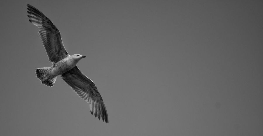Bird Flying Spread Wings One Animal Mid-air Nature Outdoors Sky Avian Seagull Feathered Black And White Monochrome Flying Bird Wings Soaring Gull Beauty In Nature Thermals In Flight No People Free Sharp Freedom Flight
