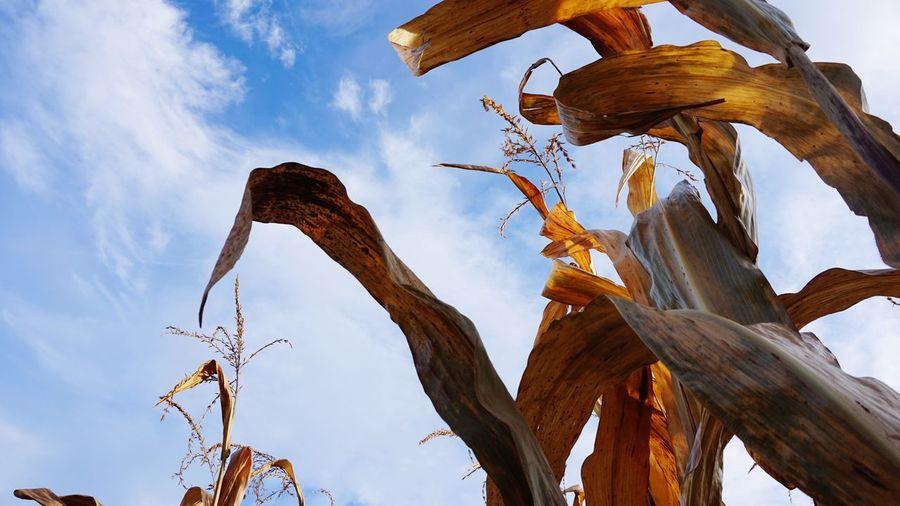 Corn 🌾 Low