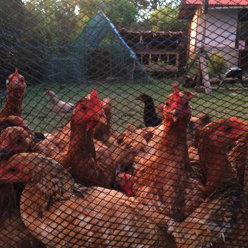 Day Rooster Chickens Poultry Farm Pen EyeEmNewHere Net Chicken - Bird Chicken Farm Chicken Birds Bird Grass Animals Animal Cage Chicken Penthouse