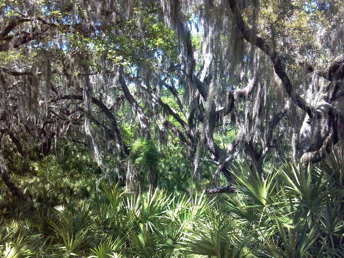 Tree Growth Nature Beauty In Nature No People Green Color Outdoors Low Angle View Day Backgrounds Branch Sky Cellphone Photography Jekyll Island Georgia Maritime Forest Palmetto Live Oak Spanish Moss