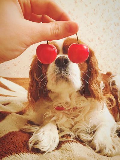 Dog Human Hand Pets Domestic Animals One Animal Holding Mammal Close-up Cavalier King Charles Spaniel Cherry Fun Funny Awesome Haha Ckcs Cute Gorgeous Amazing Pretty Tiffany Iphone7 Beautiful Cutie Doggy Cozy