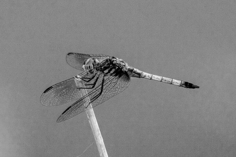 Perching Dragonfly black and white friday Dragonfly EyeEm Selects Nature Animal Animal Themes No People Land Animals In The Wild Animal Wildlife High Angle View Day Close-up Outdoors