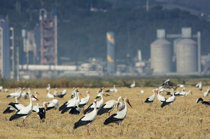 Industrial Industrial Building  Animal Themes Animal Wildlife Animals In The Wild Architecture Bird Day Flock Of Birds Flock Of Storks Industrial Area Industrial Landscapes Industrialbeauty Large Group Of Animals Nature No People Outdoors Storks In Portugal Storks In The Wild