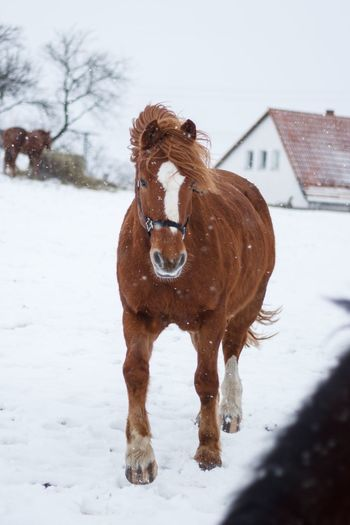 Winter Snow Cold Temperature Weather Animal Themes Domestic Animals Outdoors Nature Horse Pferd Schnee Pet Portraits Shades Of Winter